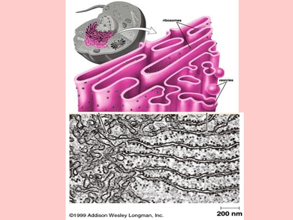 Rough Endoplasmic Reticulum (rough ER) System of flattened sacs and tubules Encrusted with ribosomes on the outer surface if their membranes Continuous with outer nuclear membrane Provides a large surface area for chemical reactions Pathway for transport of materials