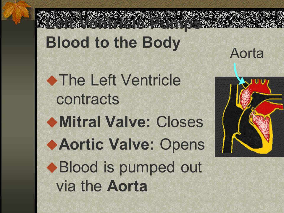 Left Ventricle Pumps Blood to the Body u The Left Ventricle contracts u Mitral Valve: Closes u Aortic Valve: Opens u Blood is pumped out via the Aorta Aorta