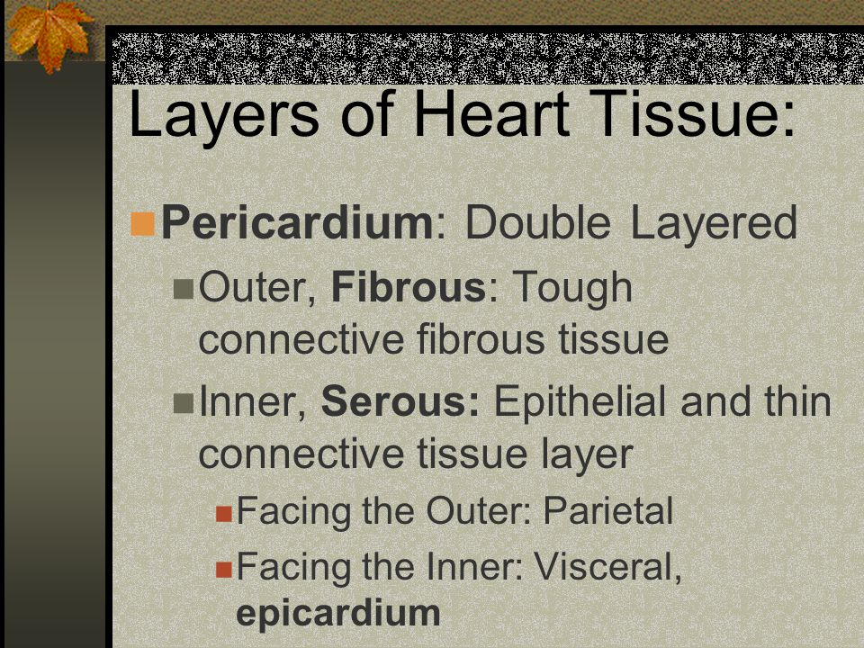 Layers of Heart Tissue: Pericardium: Double Layered Outer, Fibrous: Tough connective fibrous tissue Inner, Serous: Epithelial and thin connective tissue layer Facing the Outer: Parietal Facing the Inner: Visceral, epicardium