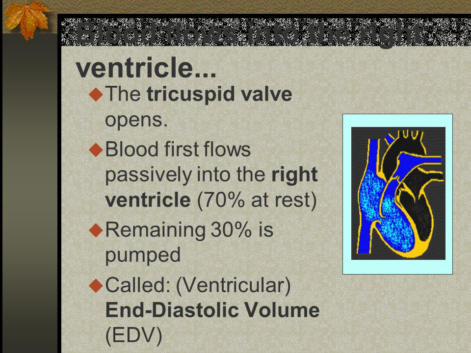 Blood flows into the right ventricle... u The tricuspid valve opens.