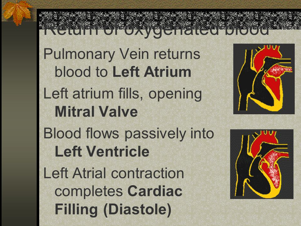 Return of oxygenated blood Pulmonary Vein returns blood to Left Atrium Left atrium fills, opening Mitral Valve Blood flows passively into Left Ventricle Left Atrial contraction completes Cardiac Filling (Diastole)