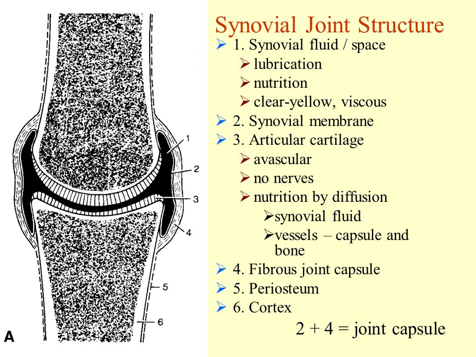 Synovial Joint Structure  1.
