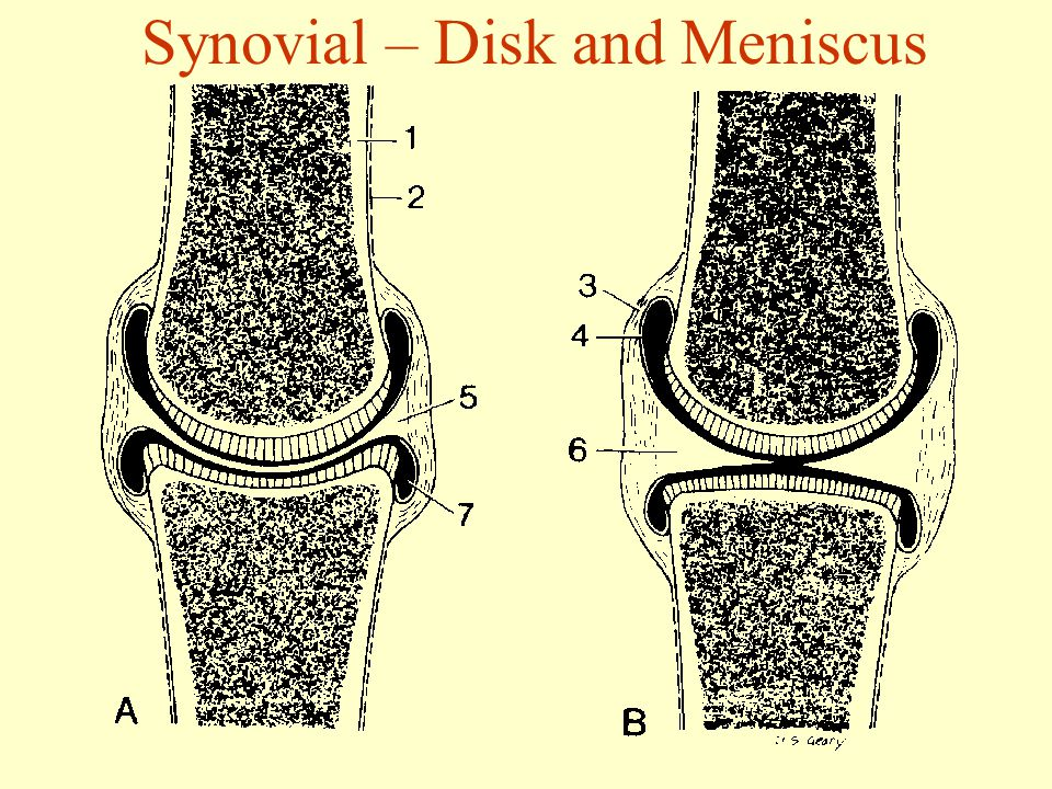 Synovial – Disk and Meniscus