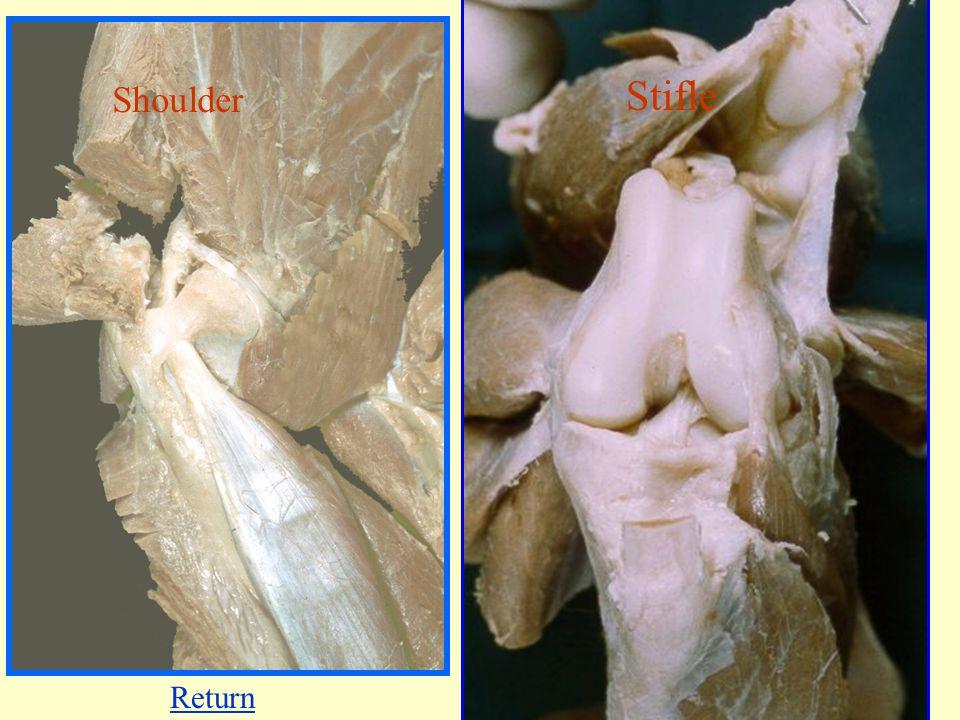 Synovial joints Shoulder Stifle Return