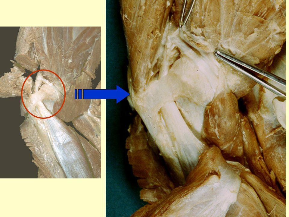 biceps tendon and retinaculum