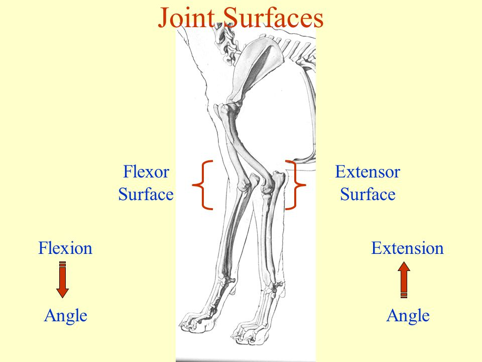 Joint Surfaces Flexor Surface Flexion Angle Extension Angle Extensor Surface