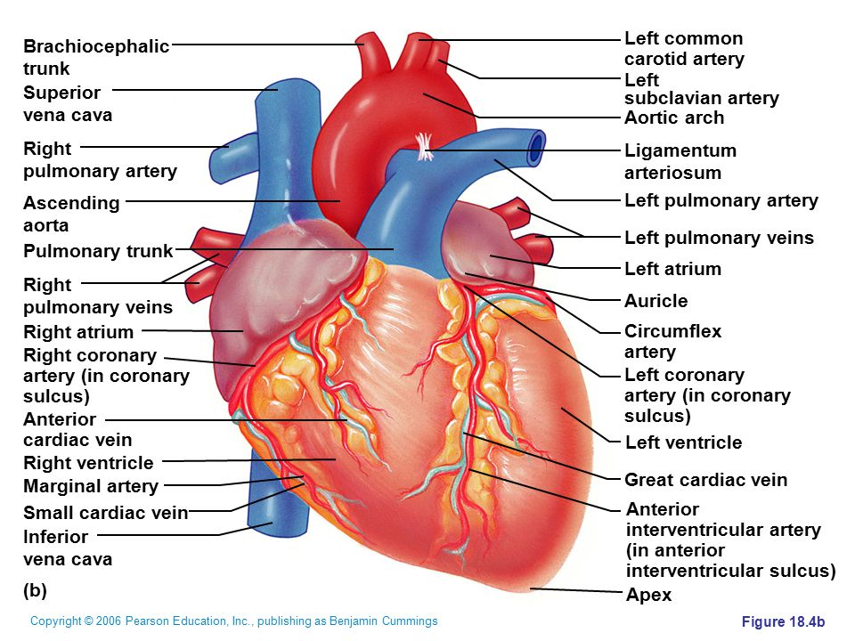 Copyright © 2006 Pearson Education, Inc., publishing as Benjamin Cummings Figure 18.4b (b) Brachiocephalic trunk Superior vena cava Right pulmonary ar