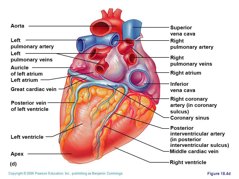 Copyright © 2006 Pearson Education, Inc., publishing as Benjamin Cummings Figure 18.4d (d) Superior vena cava Right pulmonary artery Right pulmonary v