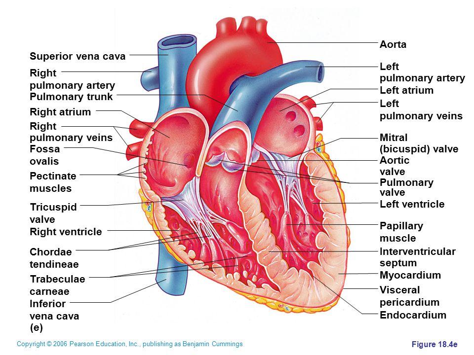 Copyright © 2006 Pearson Education, Inc., publishing as Benjamin Cummings Figure 18.4e (e) Superior vena cava Right pulmonary artery Pulmonary trunk R