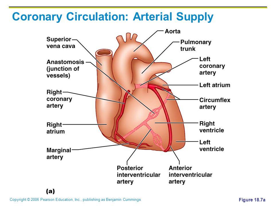 Copyright © 2006 Pearson Education, Inc., publishing as Benjamin Cummings Coronary Circulation: Arterial Supply Figure 18.7a