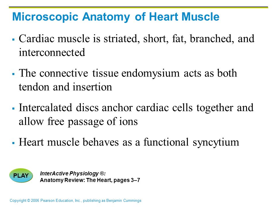 Copyright © 2006 Pearson Education, Inc., publishing as Benjamin Cummings Microscopic Anatomy of Heart Muscle  Cardiac muscle is striated, short, fat