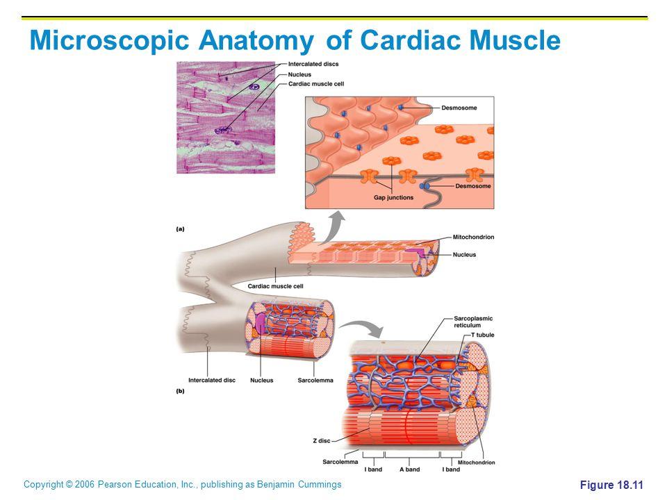 Copyright © 2006 Pearson Education, Inc., publishing as Benjamin Cummings Microscopic Anatomy of Cardiac Muscle Figure 18.11