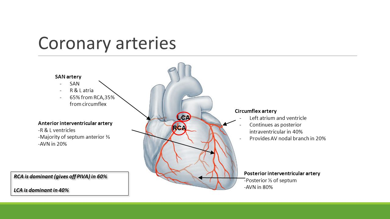 Coronary arteries Circumflex artery -Left atrium and ventricle -Continues as posterior intraventricular in 40% -Provides AV nodal branch in 20% Posterior interventricular artery -Posterior ⅓ of septum -AVN in 80% Anterior interventricular artery -R & L ventricles -Majority of septum anterior ⅔ -AVN in 20% SAN artery -SAN -R & L atria -65% from RCA,35% from circumflex RCA LCA RCA is dominant (gives off PIVA) in 60% LCA is dominant in 40% RCA is dominant (gives off PIVA) in 60% LCA is dominant in 40%
