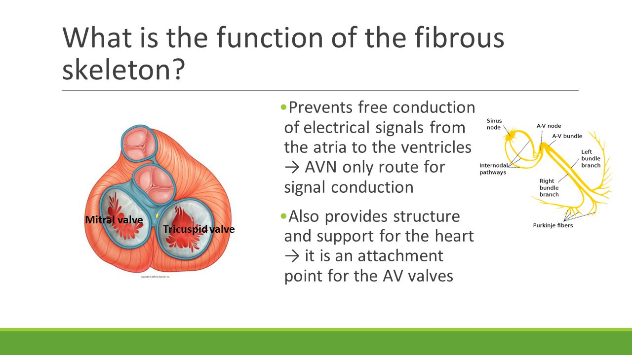 What is the function of the fibrous skeleton.