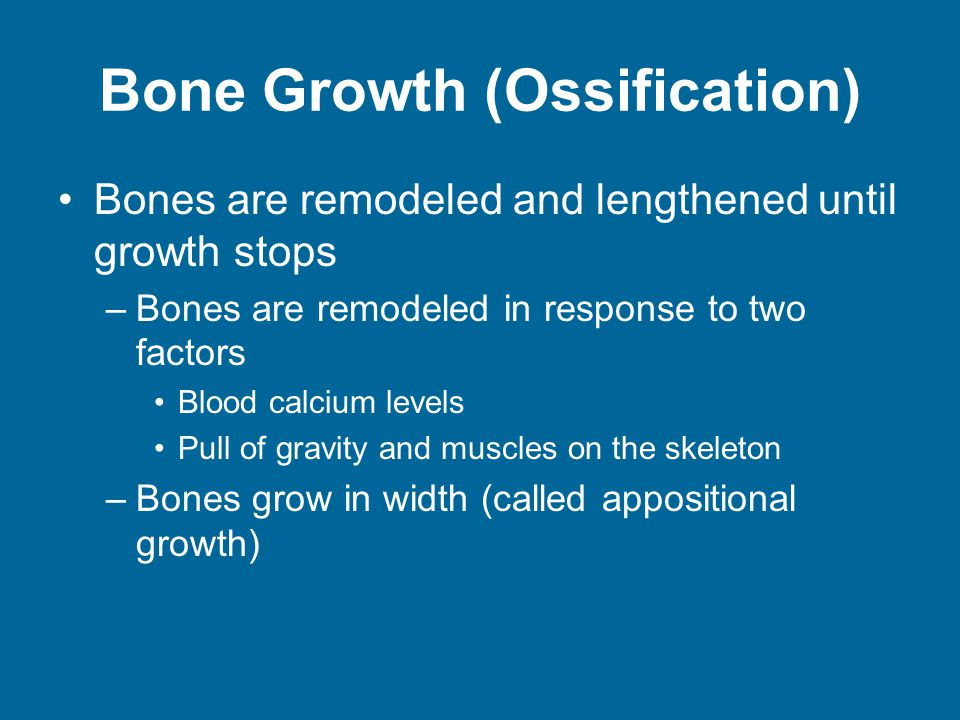 Bone Growth (Ossification) Bones are remodeled and lengthened until growth stops –Bones are remodeled in response to two factors Blood calcium levels Pull of gravity and muscles on the skeleton –Bones grow in width (called appositional growth)