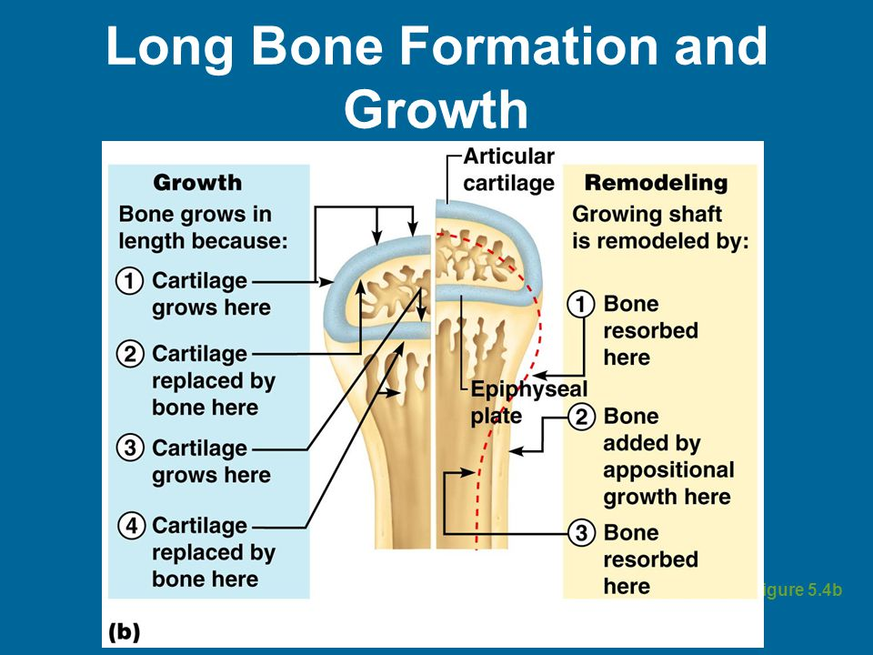 Long Bone Formation and Growth Figure 5.4b