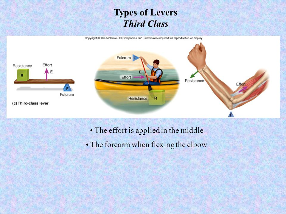 Types of Levers Third Class The effort is applied in the middle The forearm when flexing the elbow