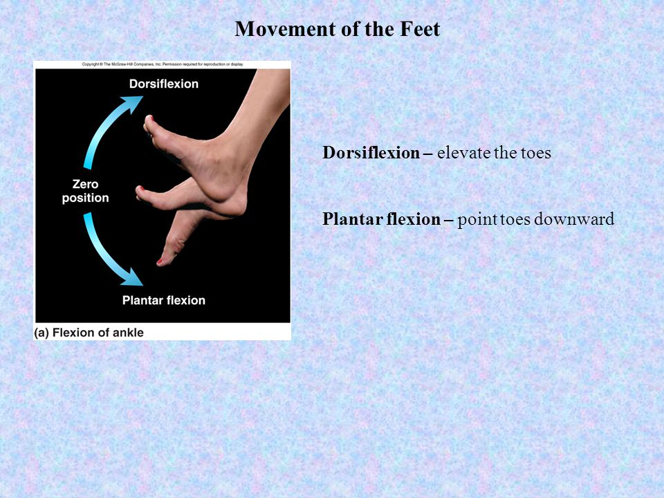 Movement of the Feet Dorsiflexion – elevate the toes Plantar flexion – point toes downward