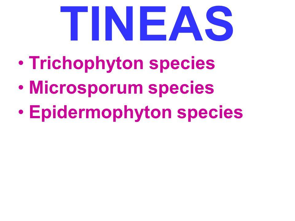 TINEAS Trichophyton species Microsporum species Epidermophyton species