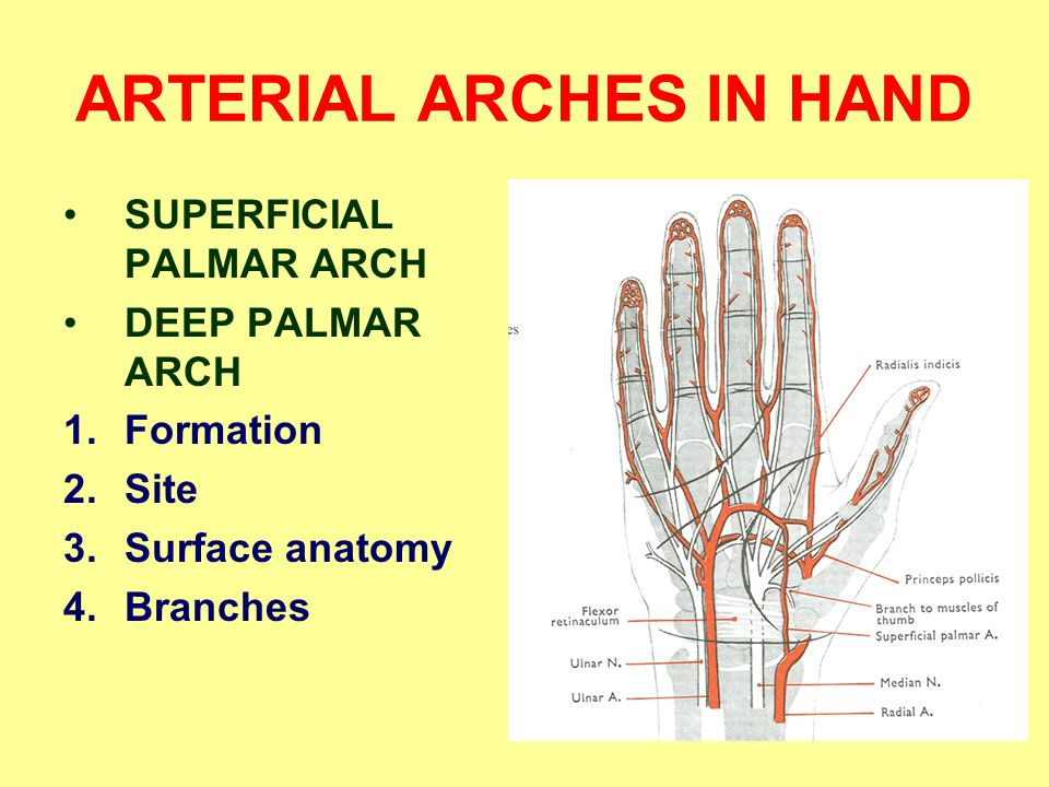 ARTERIAL ARCHES IN HAND SUPERFICIAL PALMAR ARCH DEEP PALMAR ARCH 1.Formation 2.Site 3.Surface anatomy 4.Branches