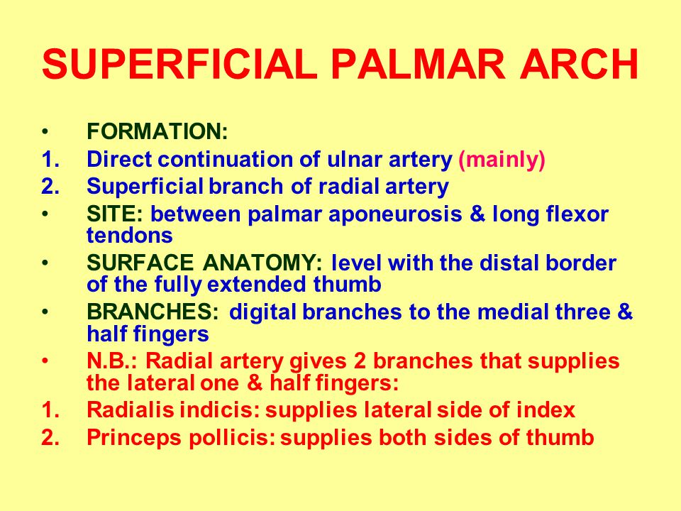 SUPERFICIAL PALMAR ARCH FORMATION: 1.Direct continuation of ulnar artery (mainly) 2.Superficial branch of radial artery SITE: between palmar aponeurosis & long flexor tendons SURFACE ANATOMY: level with the distal border of the fully extended thumb BRANCHES: digital branches to the medial three & half fingers N.B.: Radial artery gives 2 branches that supplies the lateral one & half fingers: 1.Radialis indicis: supplies lateral side of index 2.Princeps pollicis: supplies both sides of thumb
