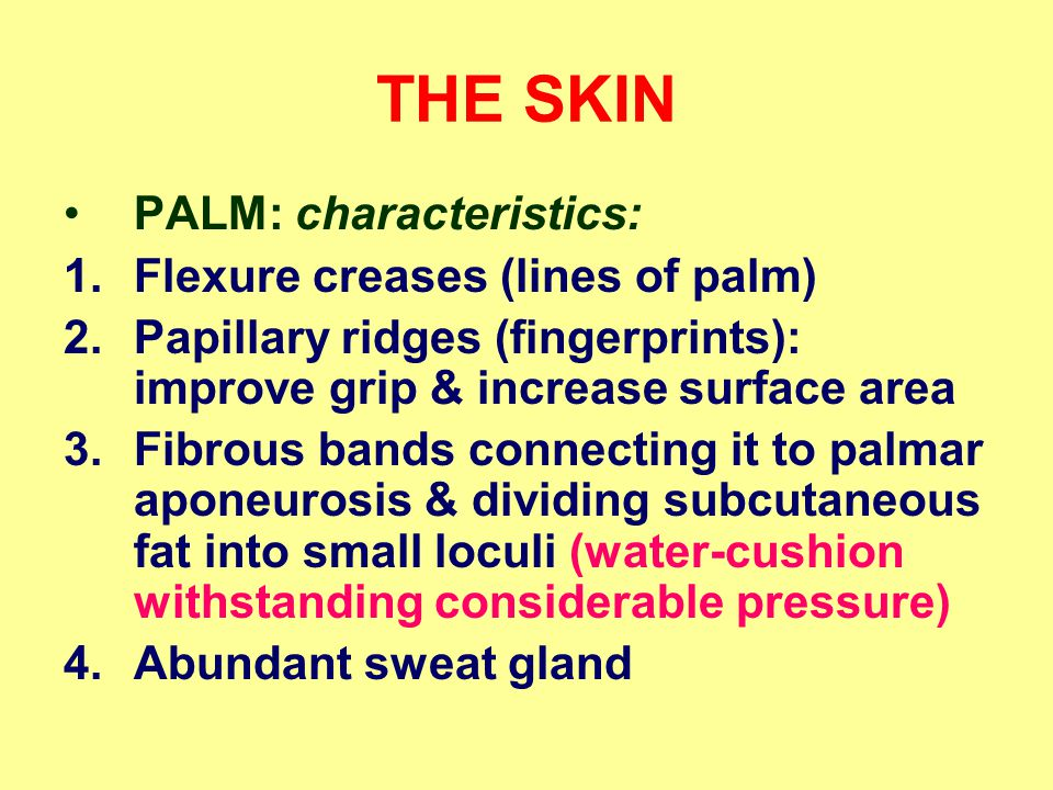 THE SKIN PALM: characteristics: 1.Flexure creases (lines of palm) 2.Papillary ridges (fingerprints): improve grip & increase surface area 3.Fibrous bands connecting it to palmar aponeurosis & dividing subcutaneous fat into small loculi (water-cushion withstanding considerable pressure) 4.Abundant sweat gland