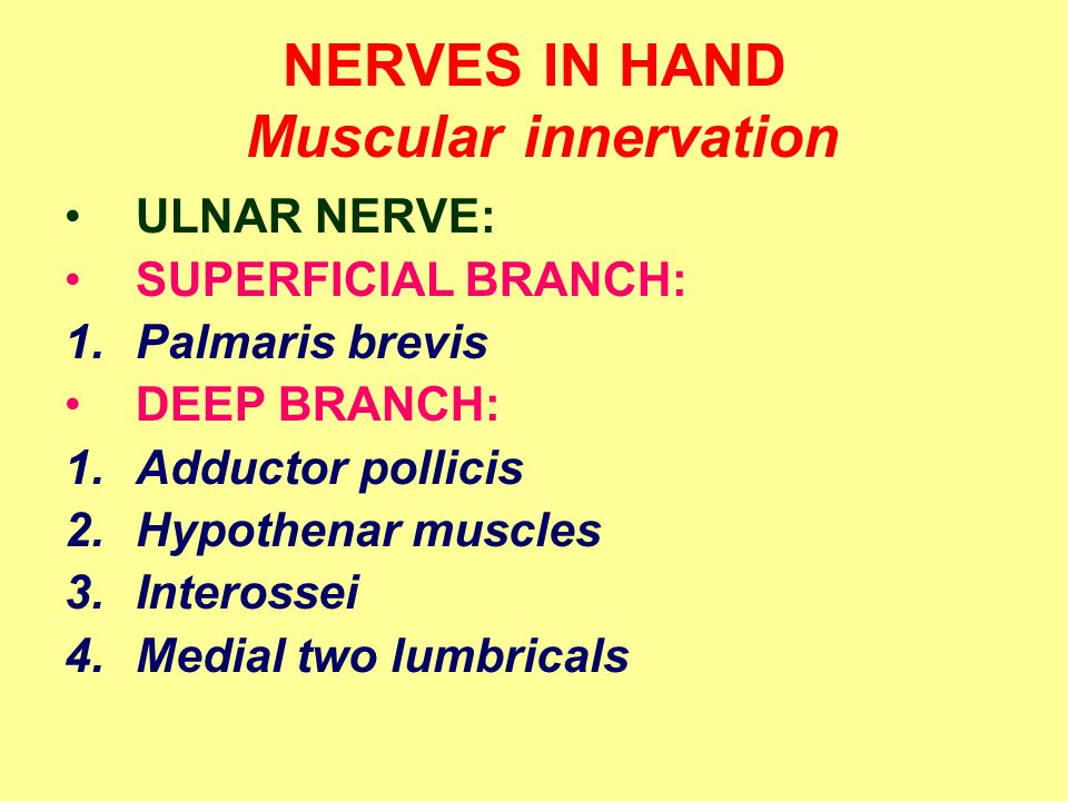 NERVES IN HAND Muscular innervation ULNAR NERVE: SUPERFICIAL BRANCH: 1.Palmaris brevis DEEP BRANCH: 1.Adductor pollicis 2.Hypothenar muscles 3.Interossei 4.Medial two lumbricals