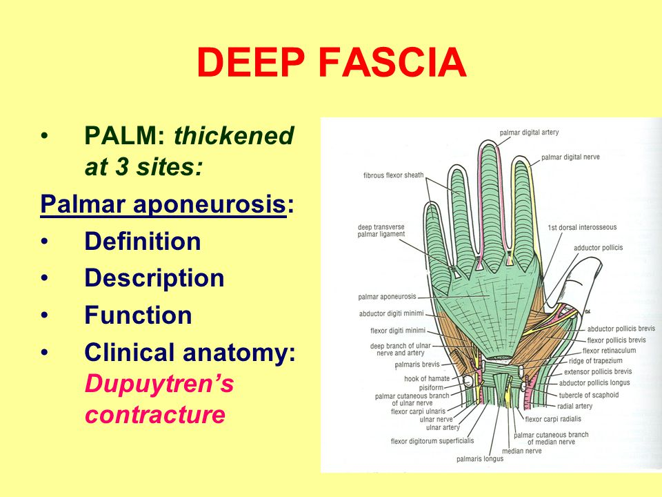 DEEP FASCIA PALM: thickened at 3 sites: Palmar aponeurosis: Definition Description Function Clinical anatomy: Dupuytren's contracture
