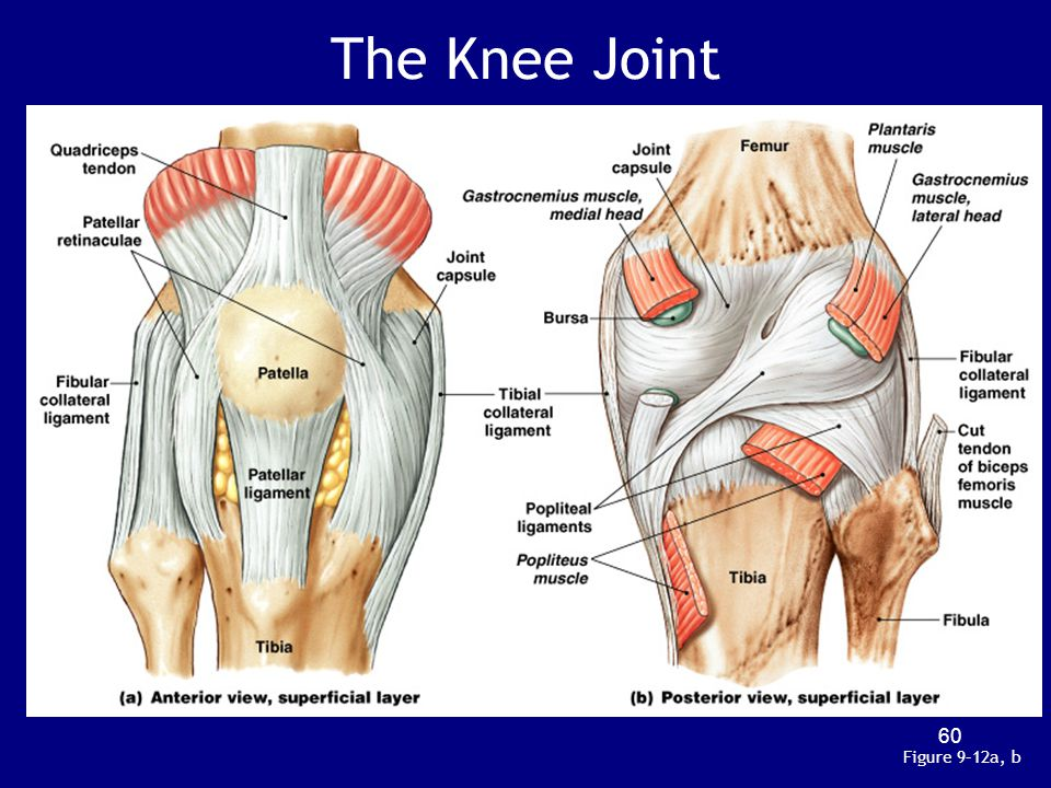 The Knee Joint Figure 9–12a, b 60