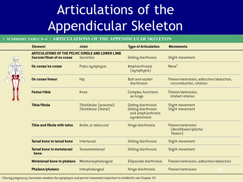 Articulations of the Appendicular Skeleton Table 9–4 (2 of 2) 62