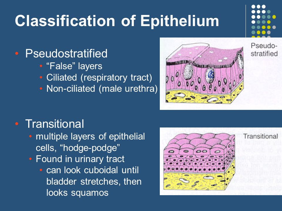 Classification of Epithelium Pseudostratified False layers Ciliated (respiratory tract) Non-ciliated (male urethra) Transitional multiple layers of epithelial cells, hodge-podge Found in urinary tract can look cuboidal until bladder stretches, then looks squamos