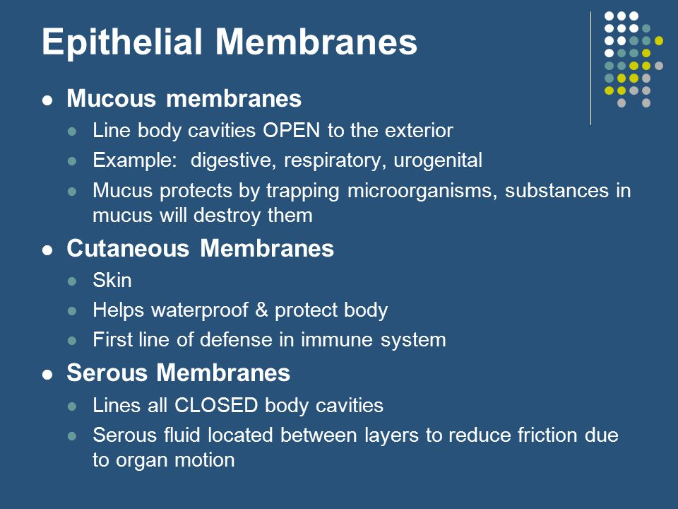 Epithelial Membranes Mucous membranes Line body cavities OPEN to the exterior Example: digestive, respiratory, urogenital Mucus protects by trapping microorganisms, substances in mucus will destroy them Cutaneous Membranes Skin Helps waterproof & protect body First line of defense in immune system Serous Membranes Lines all CLOSED body cavities Serous fluid located between layers to reduce friction due to organ motion