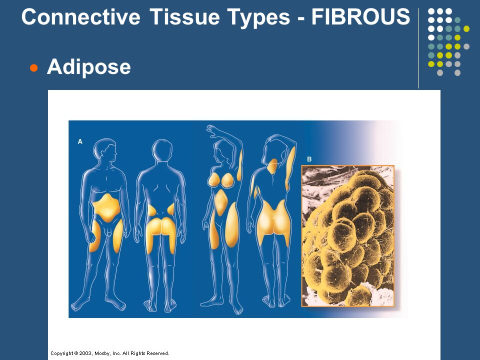  Adipose Connective Tissue Types - FIBROUS