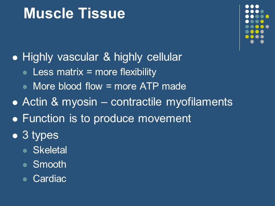 Muscle Tissue Highly vascular & highly cellular Less matrix = more flexibility More blood flow = more ATP made Actin & myosin – contractile myofilaments Function is to produce movement 3 types Skeletal Smooth Cardiac