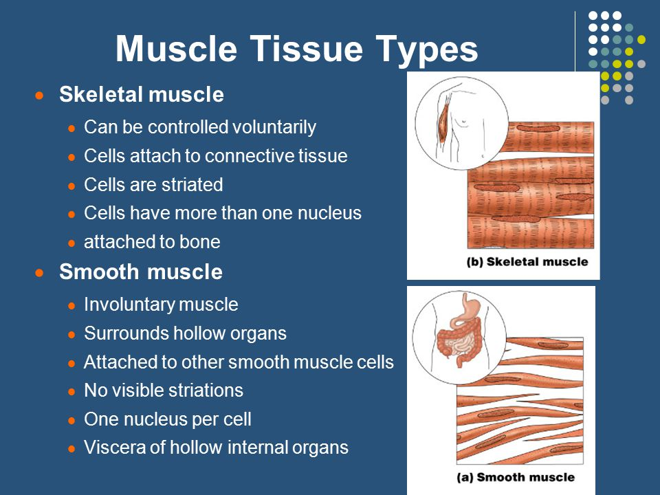 Muscle Tissue Types  Skeletal muscle  Can be controlled voluntarily  Cells attach to connective tissue  Cells are striated  Cells have more than one nucleus  attached to bone  Smooth muscle  Involuntary muscle  Surrounds hollow organs  Attached to other smooth muscle cells  No visible striations  One nucleus per cell  Viscera of hollow internal organs
