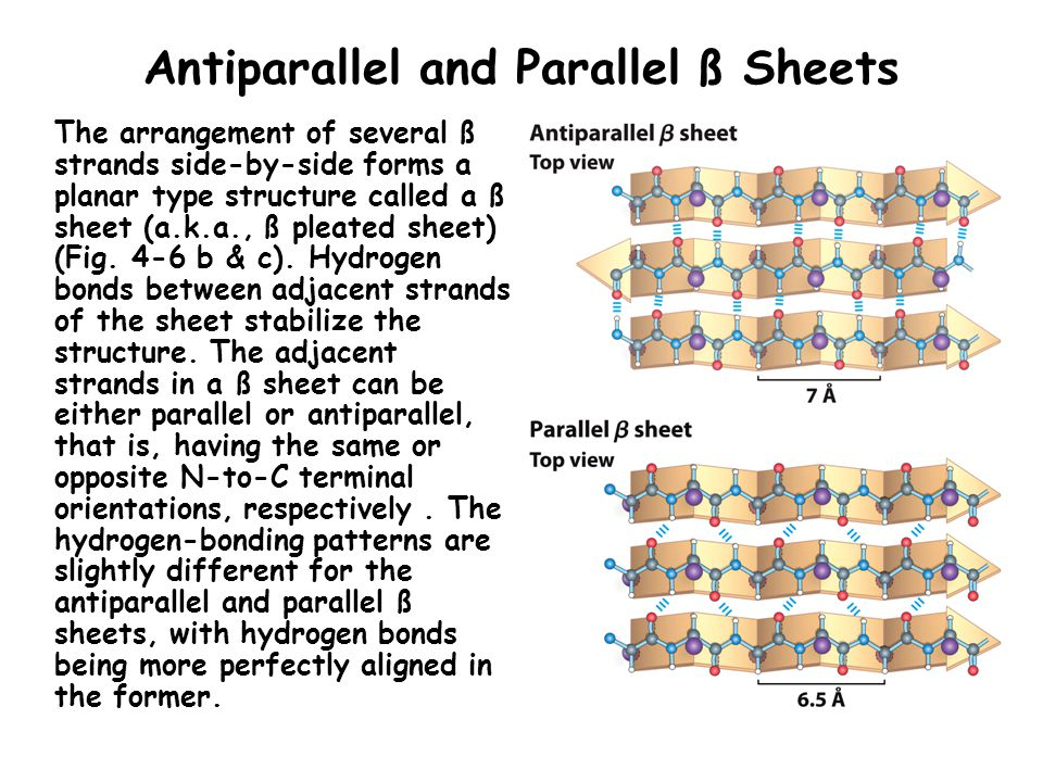Antiparallel and Parallel ß Sheets The arrangement of several ß strands side-by-side forms a planar type structure called a ß sheet (a.k.a., ß pleated