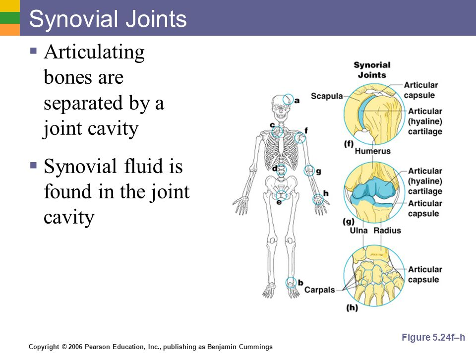 Copyright © 2006 Pearson Education, Inc., publishing as Benjamin Cummings Synovial Joints  Articulating bones are separated by a joint cavity  Synovial fluid is found in the joint cavity Figure 5.24f–h
