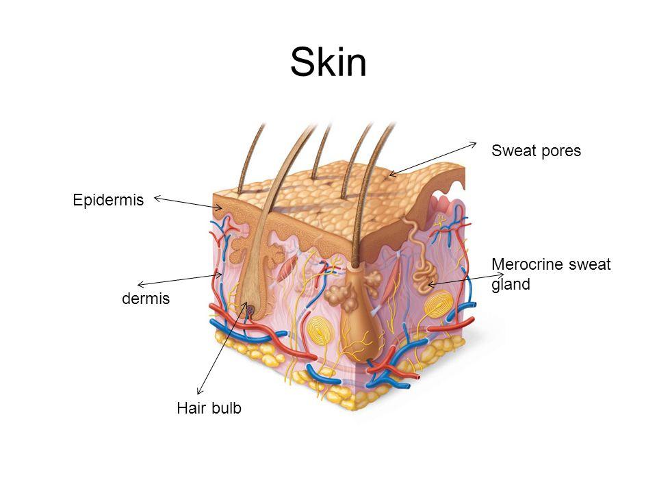 Skin Epidermis dermis Merocrine sweat gland Hair bulb Sweat pores