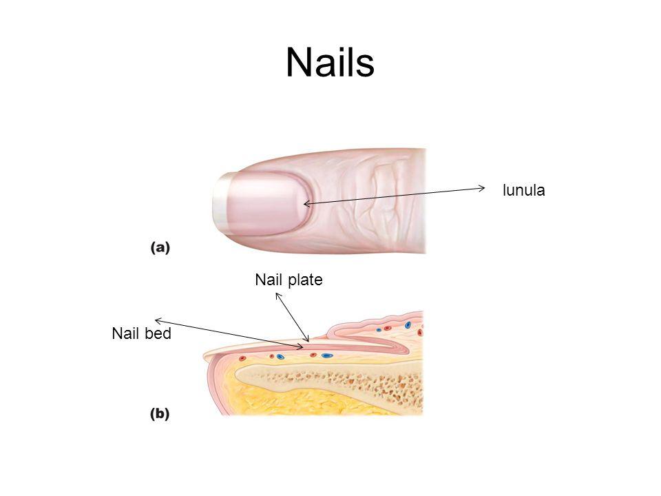 Nails Nail plate Nail bed lunula