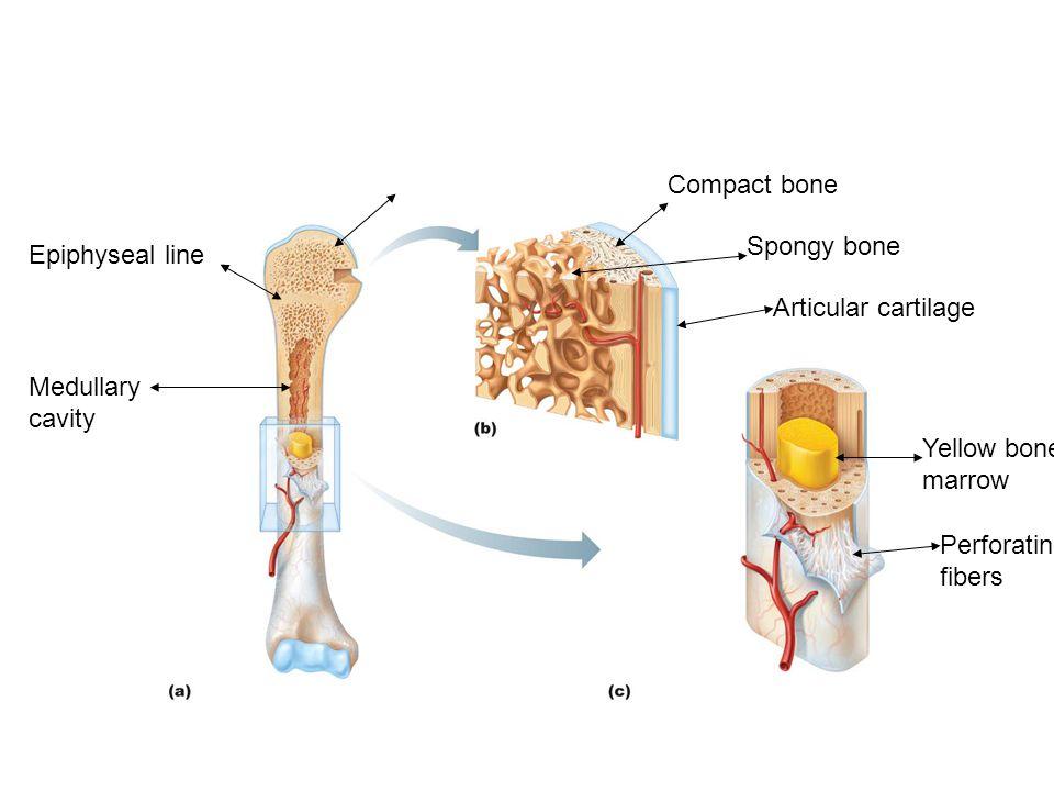 Spongy bone Compact bone Articular cartilage Yellow bone marrow Perforating fibers Medullary cavity Epiphyseal line