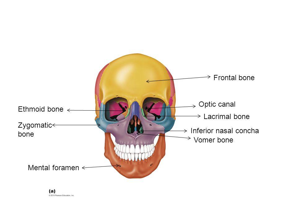Vomer bone Mental foramen Optic canal Lacrimal bone Inferior nasal concha Ethmoid bone Zygomatic bone Frontal bone
