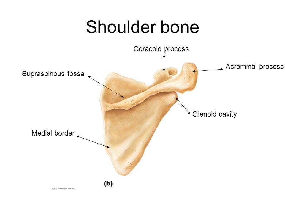 Shoulder bone Acrominal process Glenoid cavity Medial border Supraspinous fossa Coracoid process