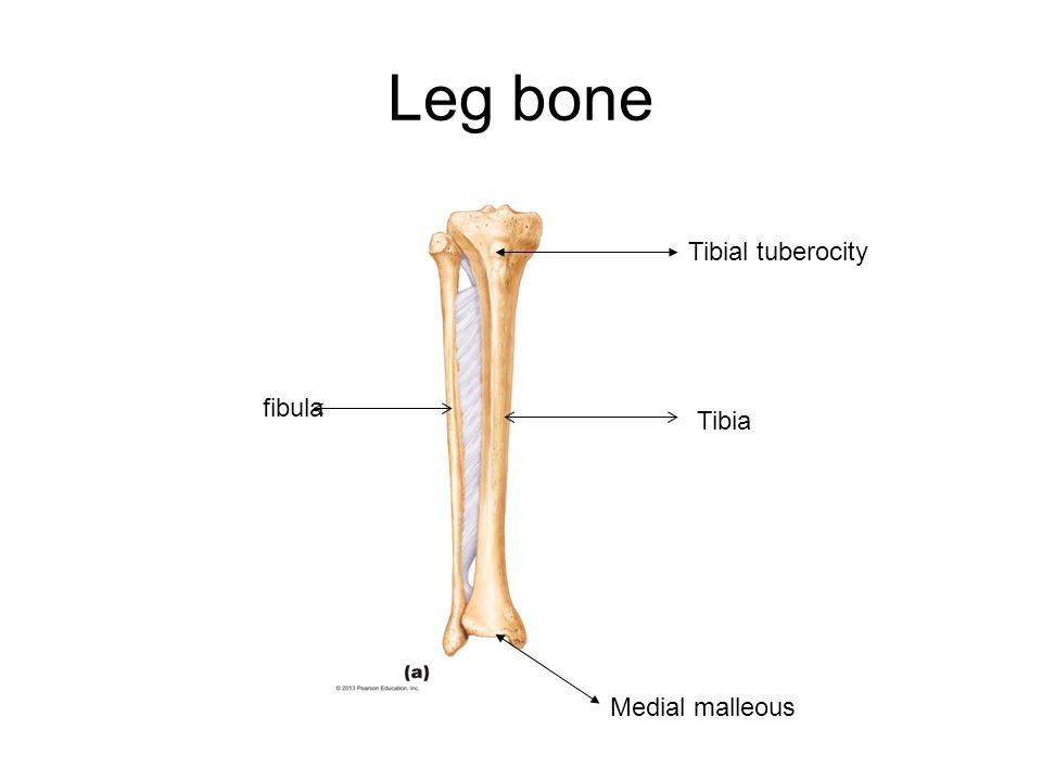 Leg bone Tibial tuberocity Medial malleous Tibia fibula