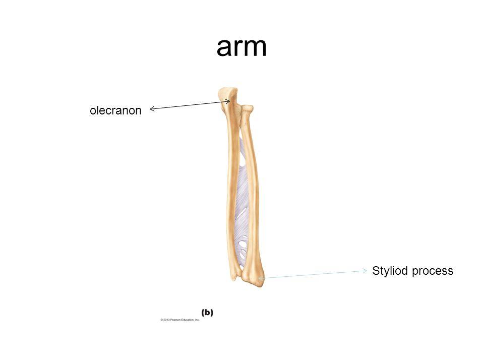 arm Styliod process olecranon