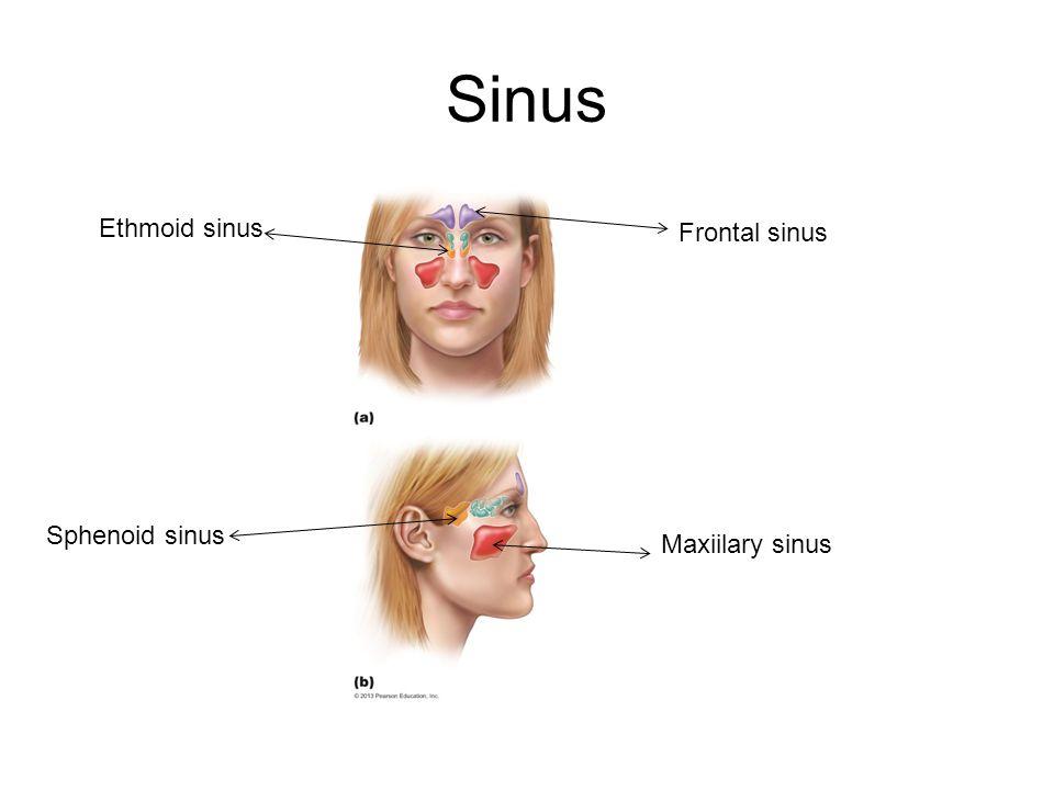 Sinus Sphenoid sinus Maxiilary sinus Frontal sinus Ethmoid sinus