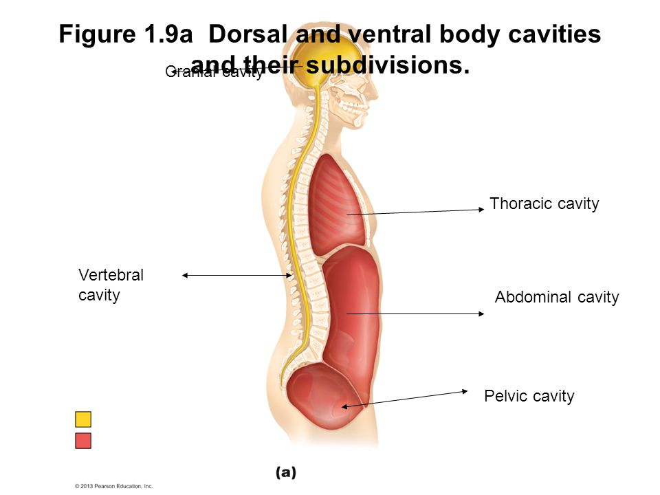 Figure 1.9a Dorsal and ventral body cavities and their subdivisions. Thoracic cavity Abdominal cavity Pelvic cavity Cranial cavity Vertebral cavity