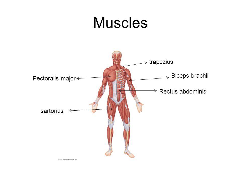 Muscles Pectoralis major Rectus abdominis trapezius sartorius Biceps brachii
