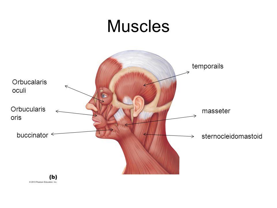 Muscles temporails masseter sternocleidomastoid Orbucularis oris Orbucalaris oculi buccinator