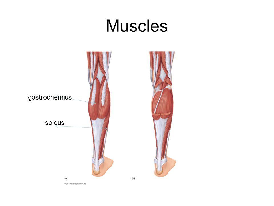 Muscles gastrocnemius soleus