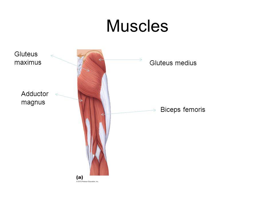 Muscles Gluteus medius Biceps femoris Gluteus maximus Adductor magnus